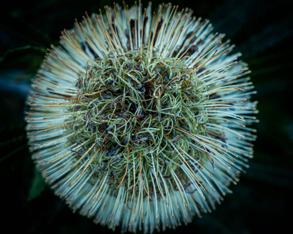 banksias are my favourite